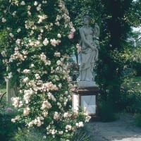 Růže Ghislaine de Féligonde