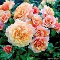 Růže Caramella