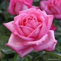 Růže Wedding Bells