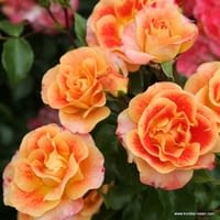 Růže Airbrush
