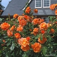 Růže Westerland