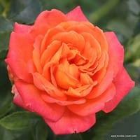 Růže Vulcano