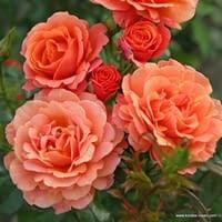 Růže Lambada
