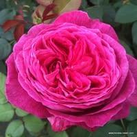 Růže Freifrau Caroline