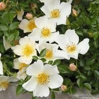 Růže Sonnenröschen