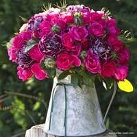 Růže Gartenfreund